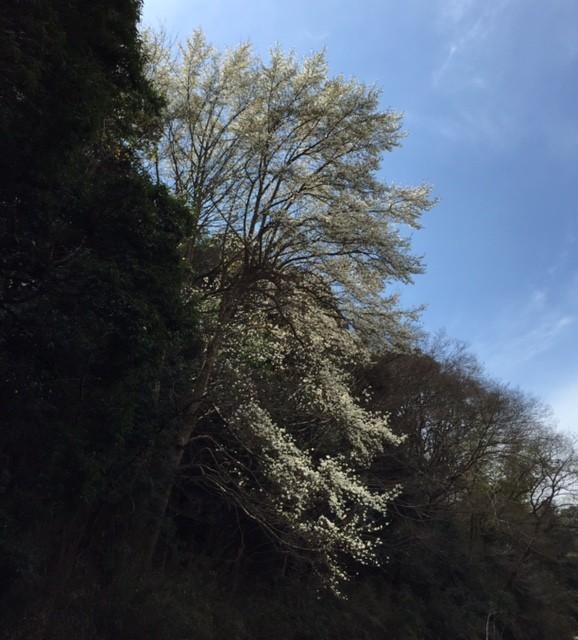 20150329_kobushi